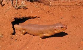 Tjakura - a social burrowing lizard from Central Australia