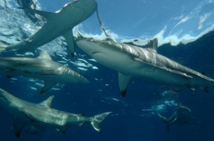 hungry blacktip whalers