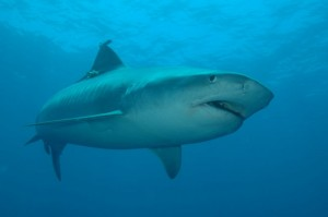 acoustically tagged tiger shark