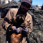 mark-recapture fur seals on Montague Is