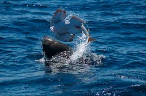 aussie fur seal eating eastern angel shark