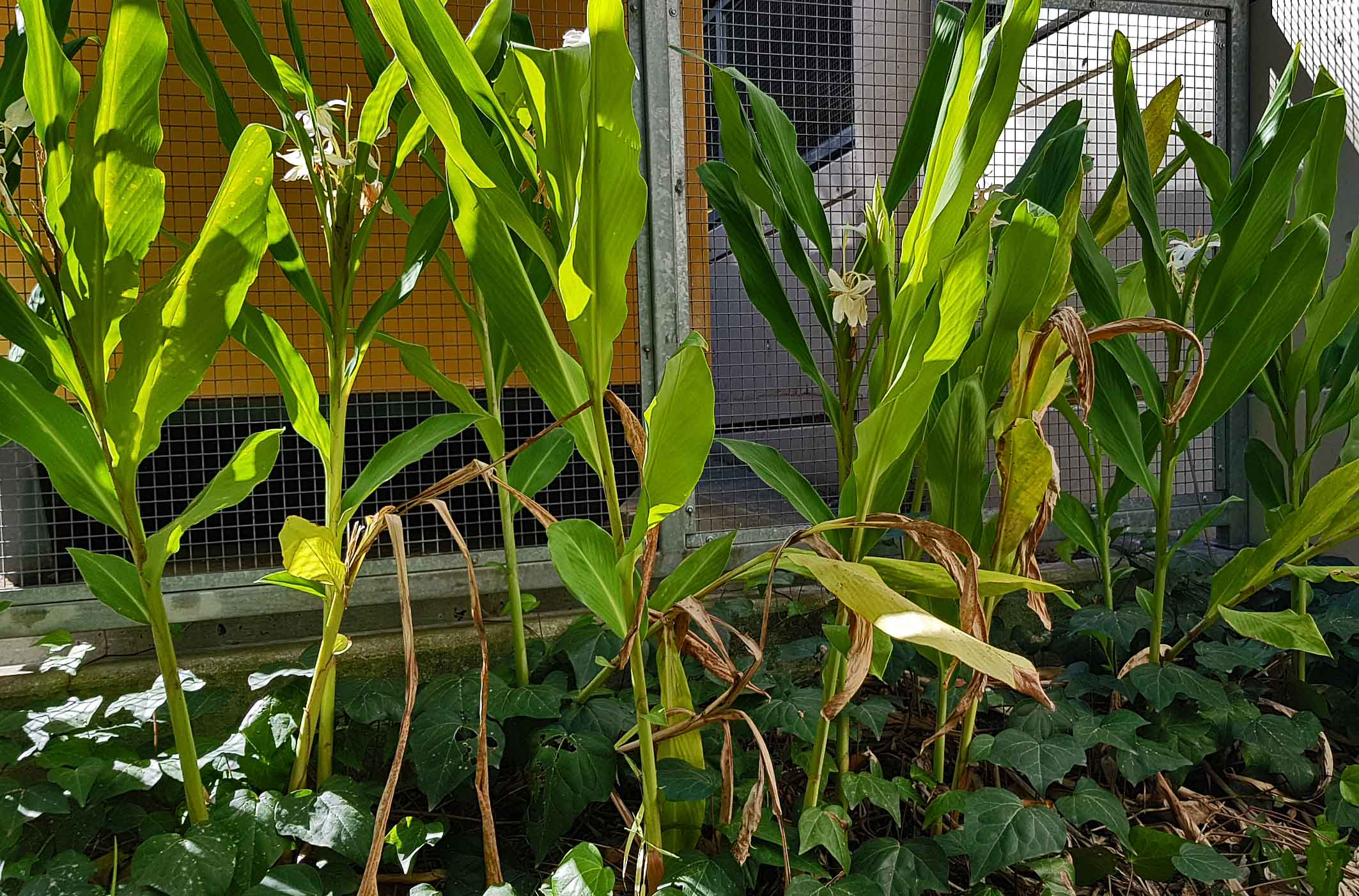 Hedychium Coronarium White Ginger Lily Plants 1 Department